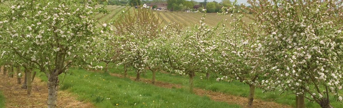 Orchard in the Vale of Evesham